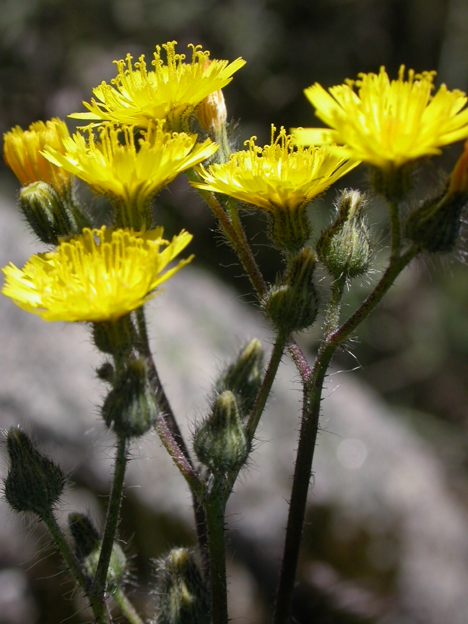 king devil hawkweed