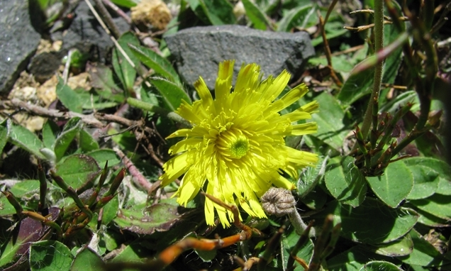 mouse-ear hawkweed