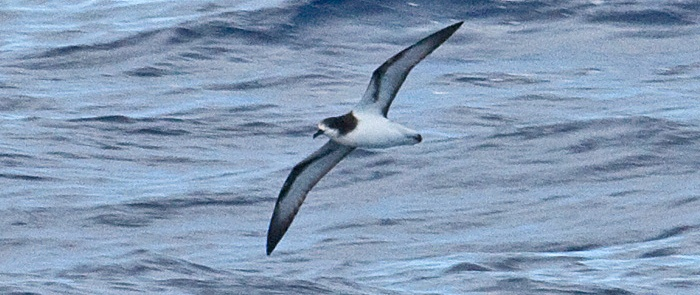 One of the beneficiaries of eradication of invasive species on islands is Gould's petrel. Photo: Tony Morris (creative commons licence)