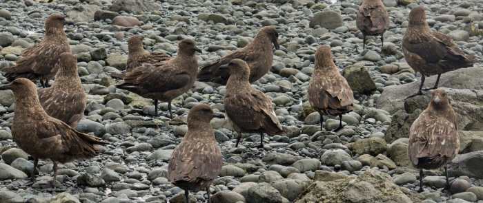 Skuas are predatory birds that can benefit from invasive rabbits or rodents, and the resulting build up in their numbers can then increase predation pressures on threatened seabirds. Photo: Su Yin Khoo (creative commons licence)