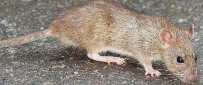 Invasive rats on islands have been the most common target of eradication projects. Photo: Hermann Falkner (creative commons licence)
