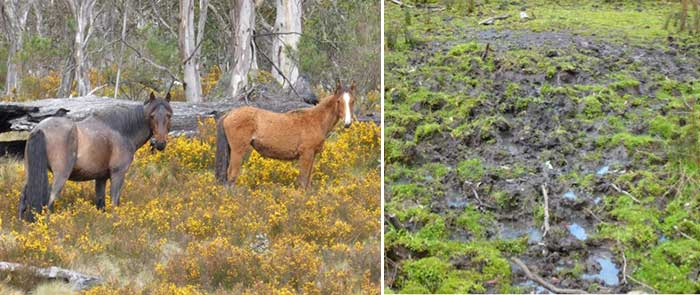 Feral horses in Kosciuszko National Park, Dec 2013. Photo: D butcher.